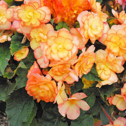 Begonia 'Apricot Shades' Pre-planted Pot