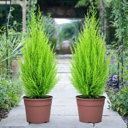 Cypress 'Goldcrest'