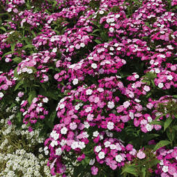 Sweet William 'Dash Magician'