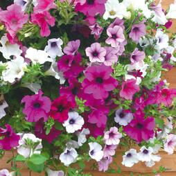 Petunia 'Surfinia Mix' Pre-planted Hanging Basket