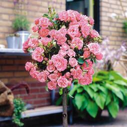 Rose Standard Pink (40cm stem)