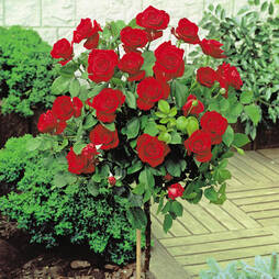 Rose Standard Red (70cm stem)