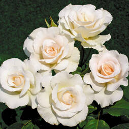 Rose Standard White (40cm stem)