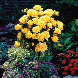 Rose Standard Yellow (70cm stem)