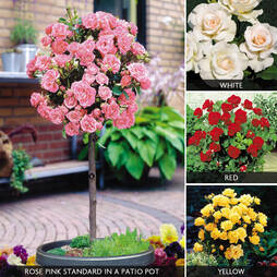 Half Standard Rose Collection (45cm stem)