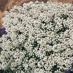 Alyssum 'Carpet Of Snow' (Seeds)