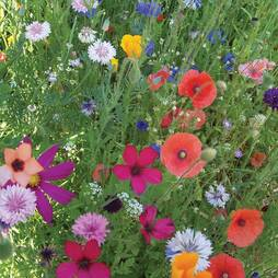 Annual Early Flowering Mixed (Seeds)