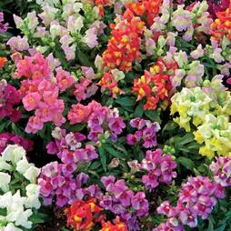 Antirrhinum 'Magic Carpet Mix' (Seeds)