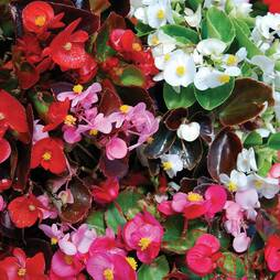 Begonia semperflorens 'Sun Shade Mix' F2 Hybrid (Seeds)