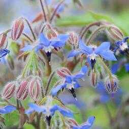 Borage (Seeds)