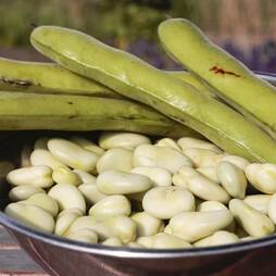 Broad Bean 'Aquadulce Claudia' (Seeds)