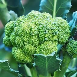 Broccoli 'Belstar' F1 Hybrid (Calabrese) (Seeds)