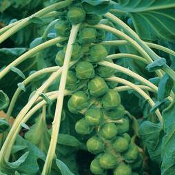 Brussels Sprout 'Brilliant' F1 Hybrid (Seeds)