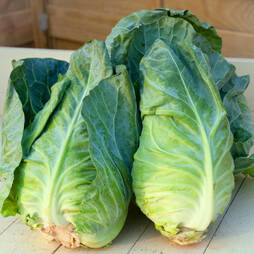 Cabbage 'Greyhound' (Summer/Autumn) (Seeds)