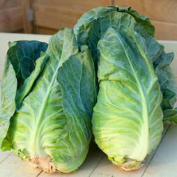 Cabbage 'Greyhound' (Summer/Autumn) (Seeds)