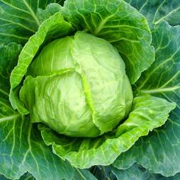 Cabbage 'Primo 11' (Summer) (Seeds)