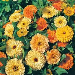 Calendula officinalis 'Art Shades Mixed' (Seeds)