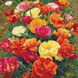 Californian Poppy 'Monarch Mixed' (Seeds)