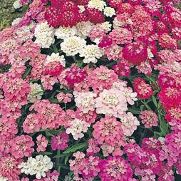 Candytuft 'Dwarf Fairyland Mixed' (Seeds)
