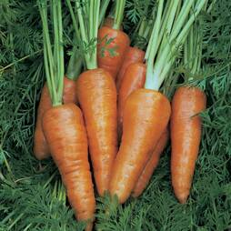 Carrot 'Chantenay Red Cored 3 - Supreme' (Seeds)