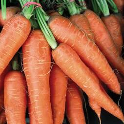 Carrot 'Flyaway' F1 Hybrid (Seeds)