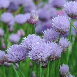 Chives (Seeds)
