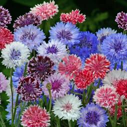 Cornflower 'Polka Dot Mixed' (Seeds)