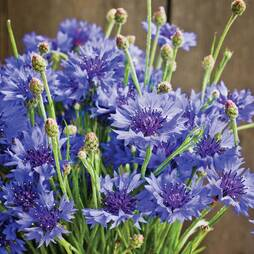 Cornflower 'Dwarf Blue Midget' (Seeds)