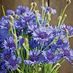 Cornflower 'Dwarf Blue Midget' (Seeds)