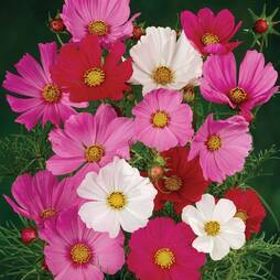 Cosmos bipinnatus 'Sensation Mixed' (Seeds)