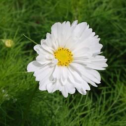 Cosmos bipinnatus 'Psyche White' (Seeds)