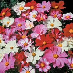 Cosmos bipinnatus 'All Sorts Mixed' (Seeds)