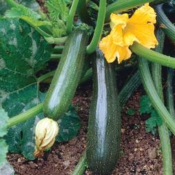 Courgette 'Defender' F1 Hybrid (Seeds)