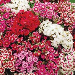Dianthus barbatus 'Excelsior Mixed' (Seeds)
