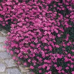 Dianthus deltoides 'Maiden Pink Brilliancy' (Seeds)