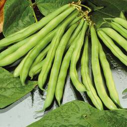 Dwarf Bean 'Tendergreen' (Seeds)