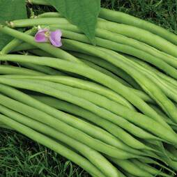 Dwarf Bean 'Speedy' (Seeds)