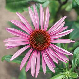 Echinacea purpurea 'Brilliant Star' (Seeds)