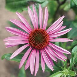 Echinacea purpurea 'Brilliant Star' (Seeds)