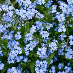 Forget-me-not 'Royal Blue' (Seeds)