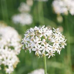 Garlic Chives (Seeds)