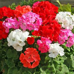 Geranium 'Cabaret Mix' (Seeds)