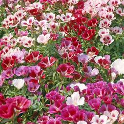 Godetia 'Little Frills Mix' (Seeds)