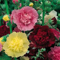Hollyhock 'Chater's Mix' (Seeds)