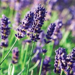 Lavender 'The Fragrant Lavender' (Seeds)