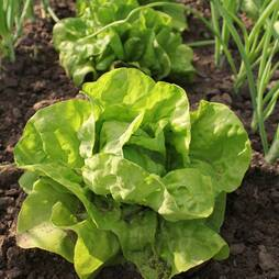 Lettuce 'All The Year Round' (Butterhead) (Seeds)