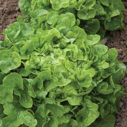 Lettuce 'Salad Bowl' (Loose-Leaf) (Seeds)