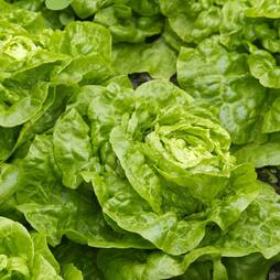 Lettuce 'Tom Thumb' (Butterhead) (Seeds)