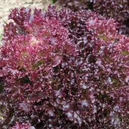 Lettuce 'Lollo Rossa' (Loose-Leaf) (Seeds)
