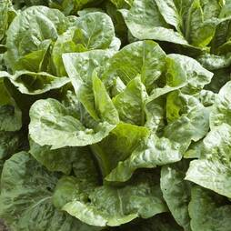 Lettuce 'Frisco' (Cos) (Seeds)